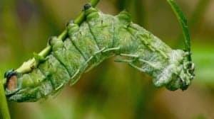 la chenille un insecte comestible