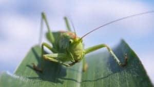 la sauterelle un insecte comestible
