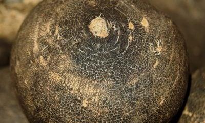 Comment cuisiner le radis noir cru ?