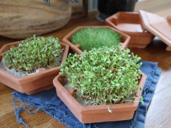 Comment faire germer des graines à mucilage ?